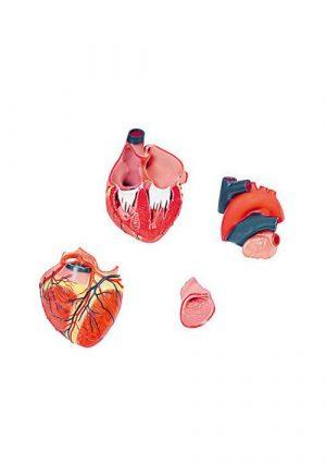 Модель сердца человека. 4 части. Увеличение в 3 раза