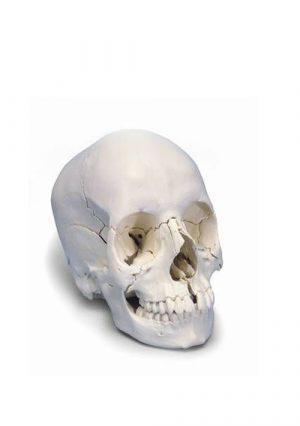 Череп. Анатомическая модель. 22 части. Белый