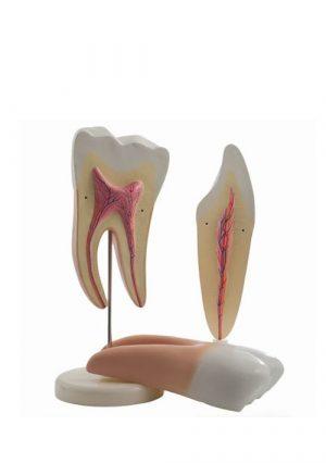 Модели зубов моляра и резца. 2 части. Комплект