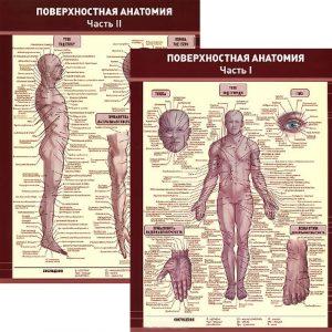 Поверхностная анатомия. Плакат в 2-частях