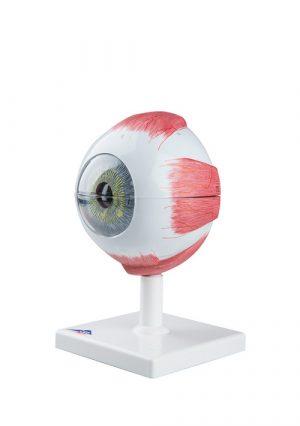 Модель строения глаза. 6 частей. Увеличение в 5 раз