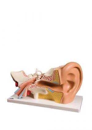 Модель уха на подставке. 4 части. Увеличение в 3 раза