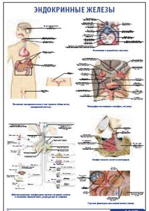 """Плакат """"Эндокринные железы"""" (800*1100)"""