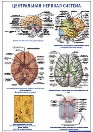 "Плакат ""Центральная нервная система"" (800*1100)"