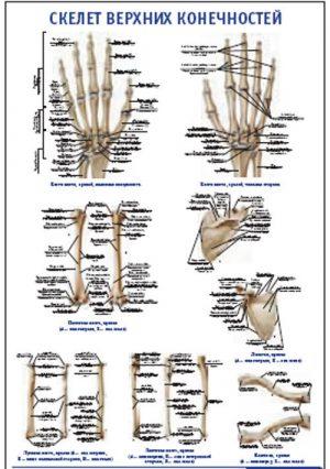 """Плакат """"Скелет верхних конечностей"""" (600*900)"""