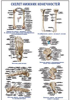 "Плакат ""Скелет нижних конечностей"" (490*650)"