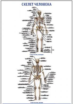 """Плакат """"Скелет человека"""" (490*650)"""