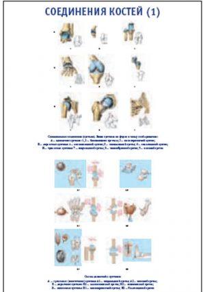 """Плакат """"Соединения костей 1"""" (800*1100)"""