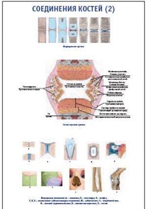 """Плакат """"Соединения костей 2"""" (490*650)"""