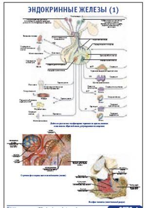 """Плакат """"Эндокринные железы 1"""" (800*1100)"""