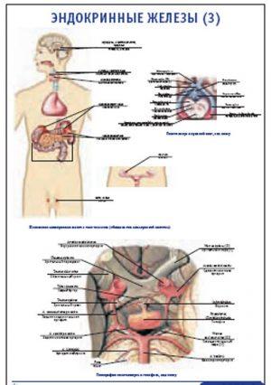 """Плакат """"Эндокринные железы 3"""" (800*1100)"""