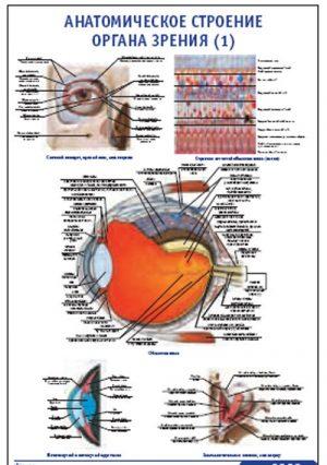 """Плакат """"Анатомическое строение органа зрения 1"""" (490*650)"""