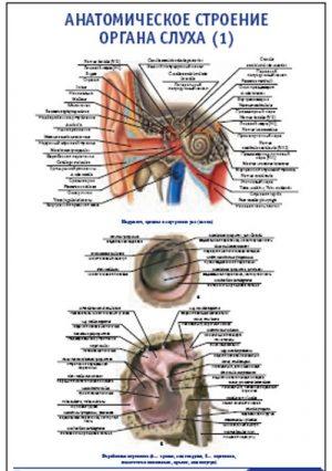 """Плакат """"Анатомическое строение органа слуха 1"""" (800*1100)"""