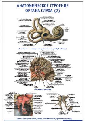 """Плакат """"Анатомическое строение органа слуха 2"""" (800*1100)"""