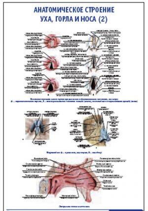 """Плакат """"Анатомическое строение уха, горла и носа"""" (2) (490*650)"""