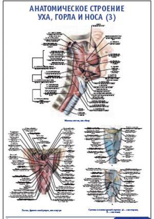 """Плакат """"Анатомическое строение уха, горла и носа"""" (3) (490*650)"""