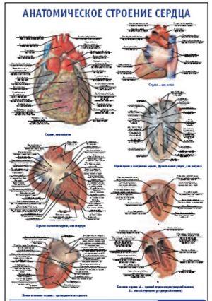 """Плакат """"Анатомическое строение сердца"""" (800*1100)"""