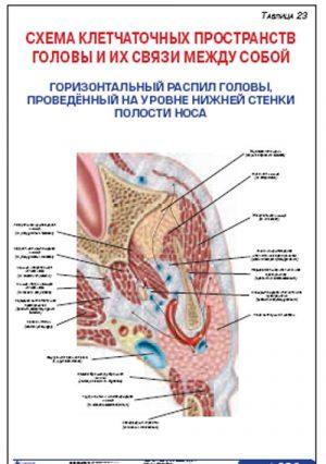 """Плакат """"Схема клетчаточных пространств головы и их связи между собой. Горизонтальный распил головы, проведенный на уровне нижней стенки полости носа"""""""