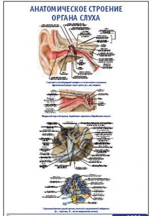 """Плакат """"Анатомическое строение органа слуха"""" (490*650)"""