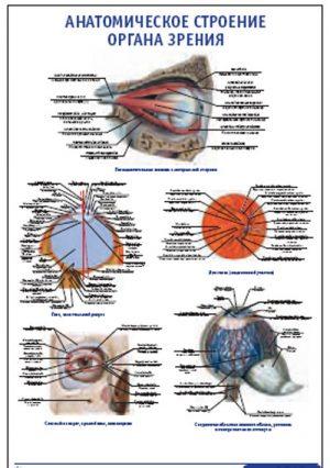 """Плакат """"Анатомическое строение органа зрения"""" (490*650)"""