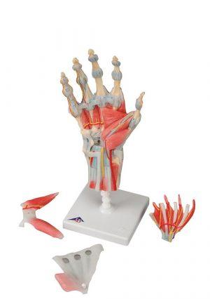 Скелет кисти руки с мышцами и связками. 4 части. Модель на подставке