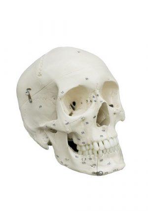 Полноразмерная модель черепа с номерами. 3 части