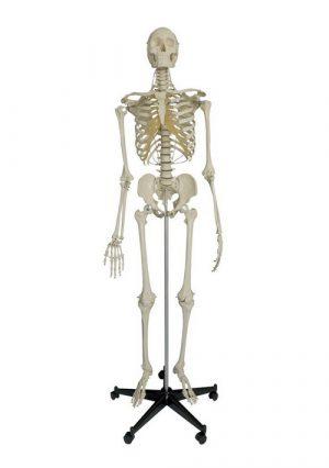 Специальная модель скелета