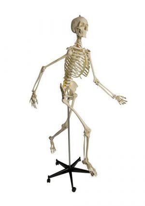 Физиологический скелет