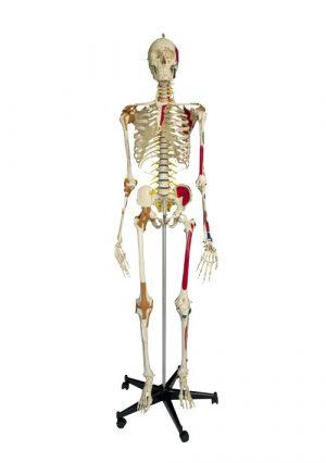 Супермодель скелета