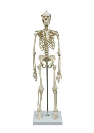 Мини-модель скелета