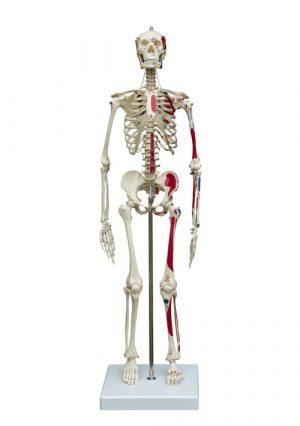 Мини-модель скелета с нарисованными мышцами