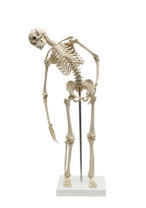 Мини-модель скелета с гибким  позвоночником