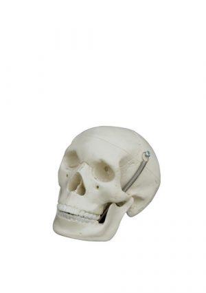 Мини-модель черепа, 3 части