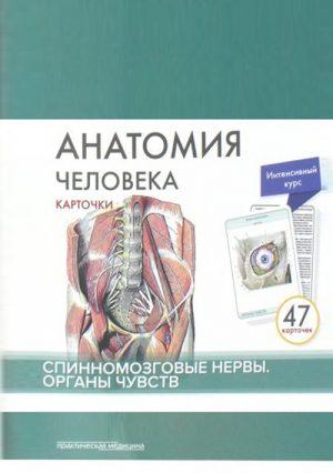 Анатомия человека. Карточки. Спинномозговые нервы. Органы чувств