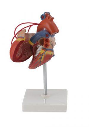 Модель серца человека с тремя коронарными шунтами, 2 части. Размер натуральный