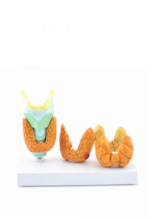 Модель заболеваний щитовидной железы