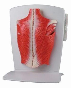 Модель мышц спины