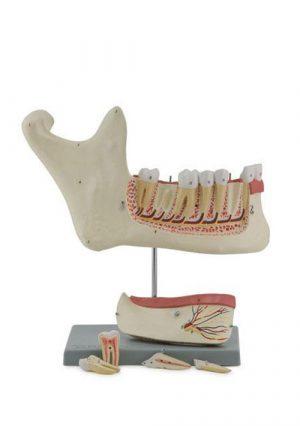 Нижная челюсть. 6 частей. Увеличение в 3 раза