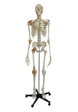 Модель скелета с 4 связками