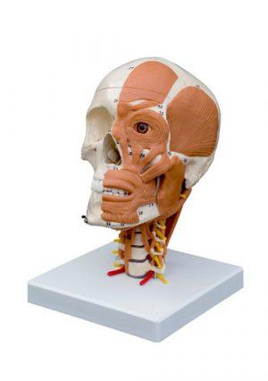 Модель черепа на шейных позвонках с шейными мышцами