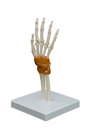 Модель суставов кисти