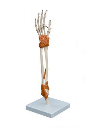 Модель суставов кисти и локтя