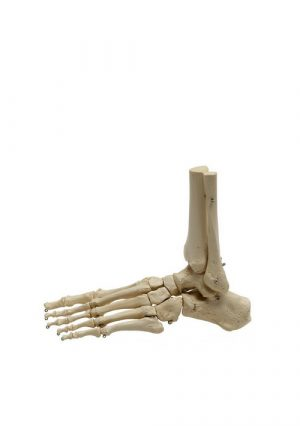 Модель скелета стопы на нейлоне (без культи)
