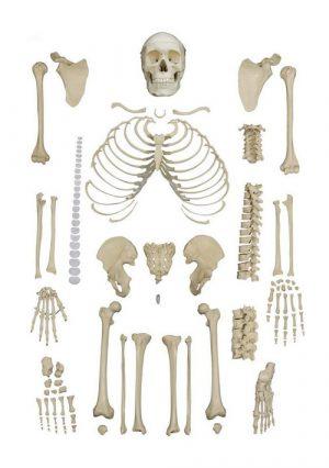 """Модель """"Набор костей"""". Половина скелета без черепа"""