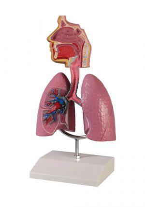 Модель дыхательной системы человека