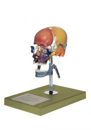 Бушеновская раскрашенная модель черепа взрослого сборно-разборная на подставке с кронштейном (разобранный)