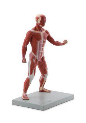 Мышцы тела в 1 модели
