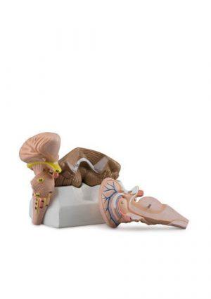 Ствол головного мозга, мозжечок и 4-й мозговой желуд, размер натуральный, на подставке, материал-пластик
