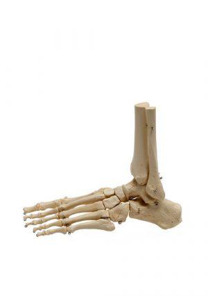Модель скелета стопы