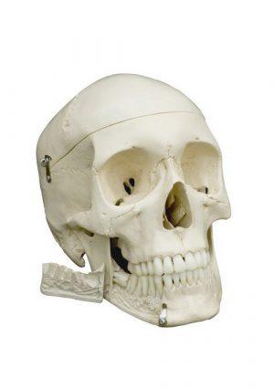 Модель черепа человека